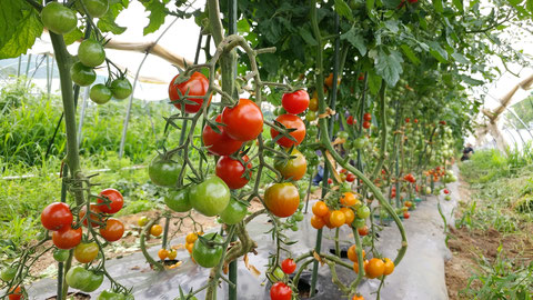 ミモレ農園 農薬不使用 トマト