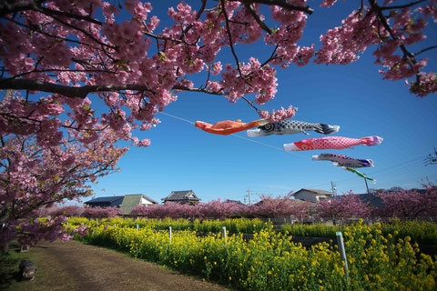 渥美半島の河津桜と菜の花と鯉のぼり