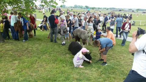 Kamelfest 2016 Schloss Hof - großer Ansturm zu den Alpakas