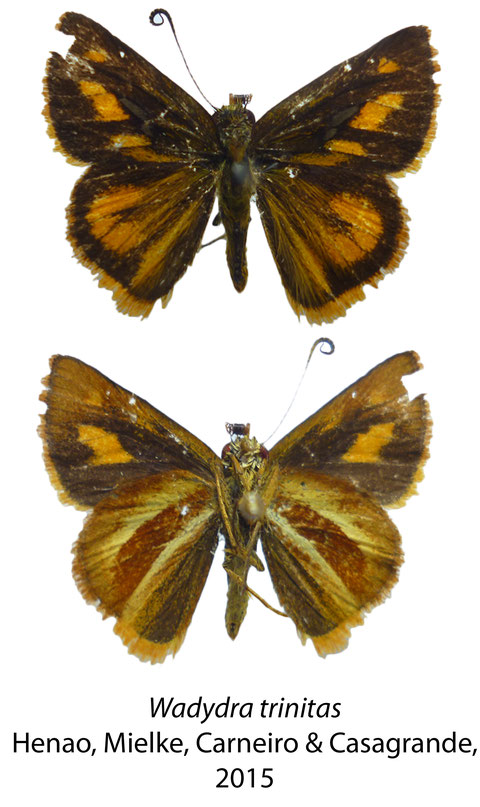 Wahydra trinitas Henao, O. Mielke, Carneiro & Casagrande, 2015 (Holotypus)