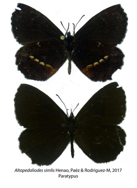 Altopedaliodes similis Henao, Paez & Rodriguez-M, 2017 (Paratypus)