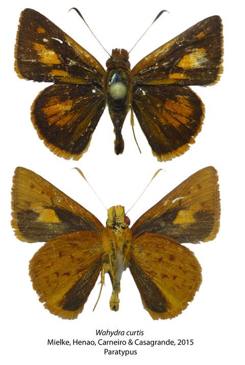 Wahydra curtis Mielke, Henao, Carneiro & Casagrande, 2015 (Paratypus)