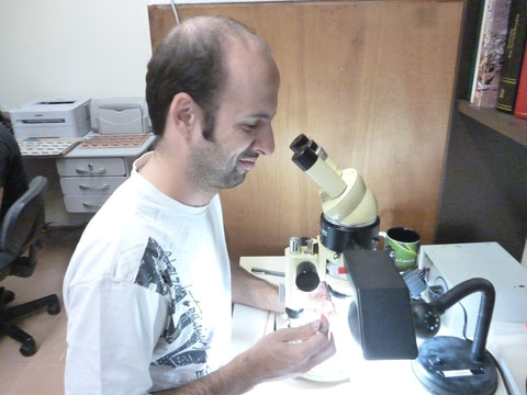 Estudia los Mocini (Hesperiidae)