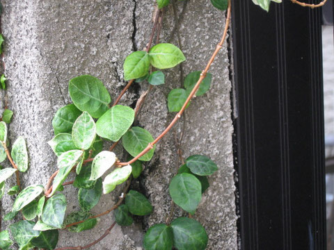 コンクリート外壁のひび割れた状態。植物の巻き付き。
