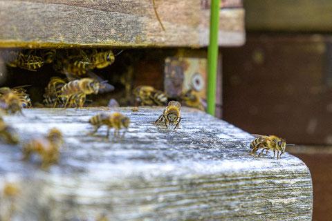 Unsere fleissigen Bienen in Aktion