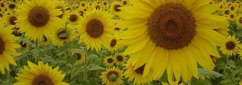 riesige Sonnenblumenfelder