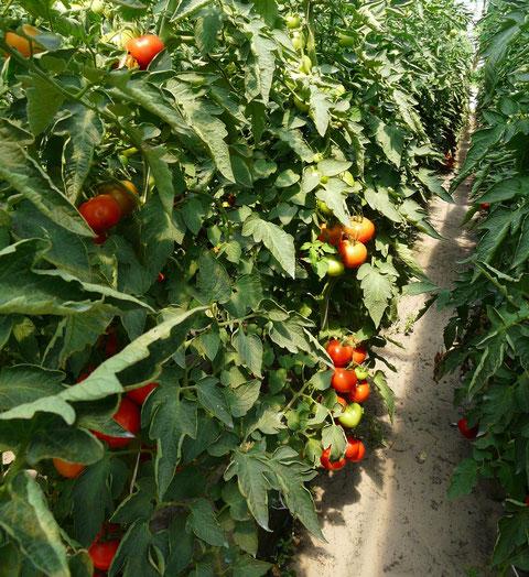 Tomaten, die nach Tomate schmecken :-)))
