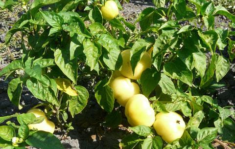 Apfelpaprika süß oder scharf zu haben