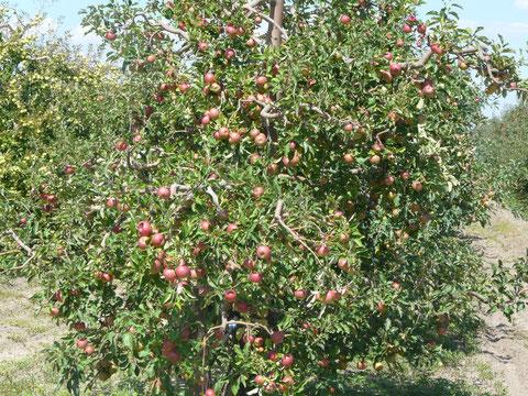 Zigeuneräpfel