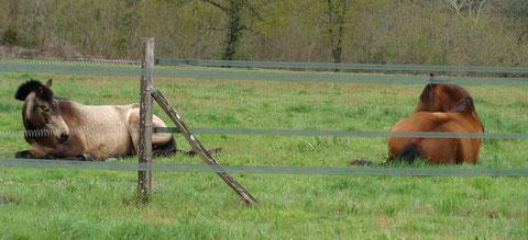 2012: repos conjoint pour Lua et Traquina, à proximité des clôtures.