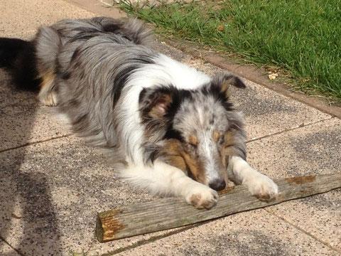 29.9.2014: Belly ist beim Holzsammeln eingeschlafen!