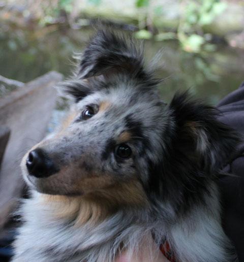 Bogey Benito mit 8 Monaten. Er unterstützt fleißig sein Frauchen bei der Arbeit und hat auf dem Hundeplatz einen riesen Spass