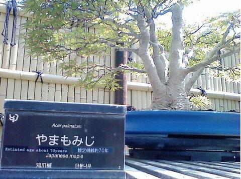 5/10 昭和記念公園盆栽園やまもみじ