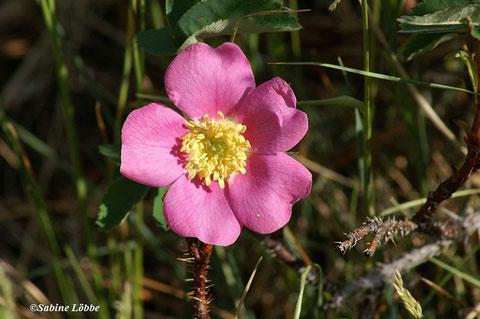 Wildrose - Sympol von Alberta, dem Land der Wilden Rosen