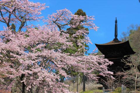 長野県 大法寺 国宝 三重塔 桜