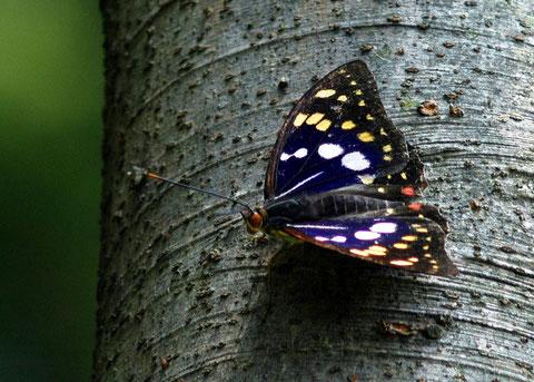 大法寺 国蝶 オオムラサキ