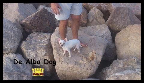 Foto de perro adulto, de raza chihuahua, sexo macho, de pelo corto, de color blanco, propiedad de los criadores de chihuahuas De Alba Dog en Valencia (España), venta de chihuahuas; cachorros chihuahua de pelo corto y largo con pedigree y afijo