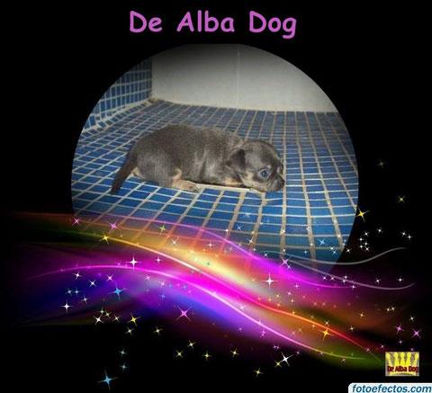Foto cachorro de perro, raza chihuahua hembra, de pelo corto y color azul, propiedad de los criadores de chihuahuas con afijo De Alba Dog en Valencia (España), venta de chihuahuas; cachorros de pelo corto y largo con pedigree