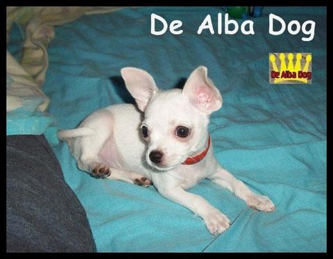 Foto de perro cachorro, de raza chihuahua, sexo macho, de pelo corto, de color blanco, propiedad de los criadores de chihuahuas De Alba Dog en Valencia (España), venta de chihuahuas; cachorros chihuahua de pelo corto y largo con pedigree y afijo
