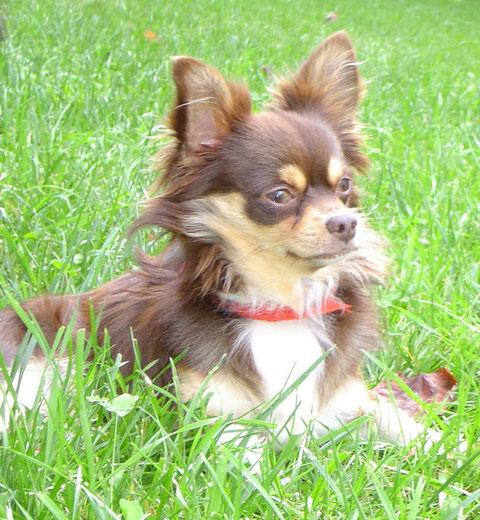 Foto de perro de raza chihuahua adulto de color chocolate, fuego y blanco de pelo largo