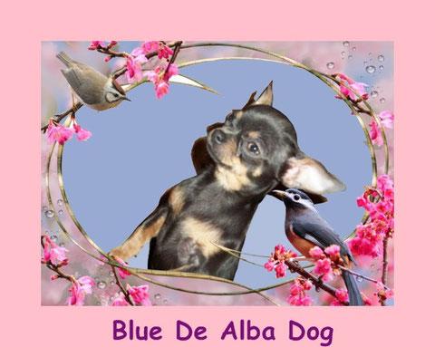 Foto de perro raza chihuahua hembra, pelo corto, color azul, propiedad de los criadores de chihuahuas  De Alba Dog en Valencia (España), venta de chihuahuas; cachorros chihuahua de pelo corto y largo con afijo y pedigree