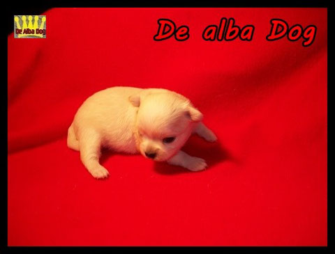 Foto cachorro chihuahua hembra de pelo largo y color blanco propiedad del criador de chihuahuas De Alba Dog