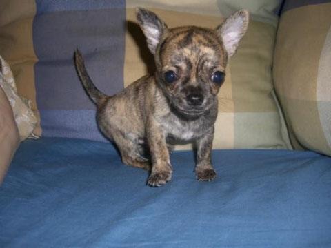 Foto de perro cachorro de raza chihuahua cachorro de color atigrado y pelo corto