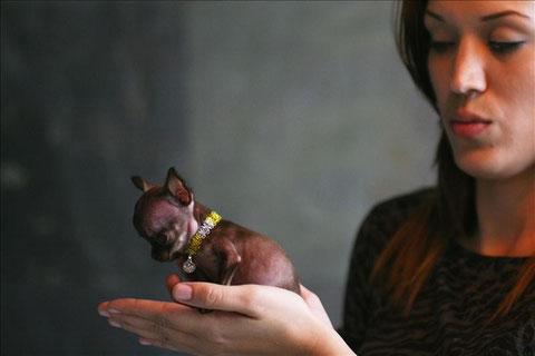 Foto de Milly, chihuahua hembra de pelo corto