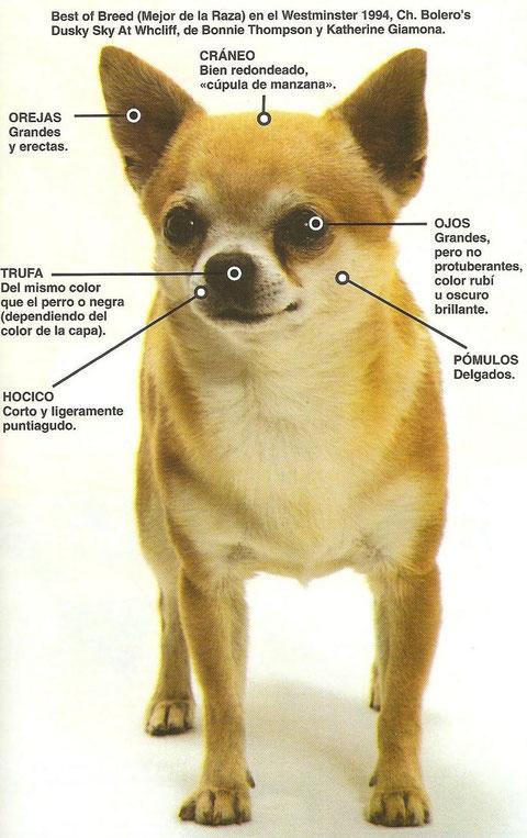 Imagen perro raza chihuahua. Chihuahua cabeza manzana. Chihuahuas cabeza de manzana caracteristicas. Perros chihuahua cabeza de manzana.