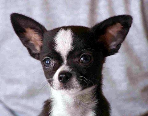 Foto de perro raza chihuahua de color negro y blanco de pelo corto