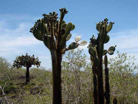 les cactus sont de taille