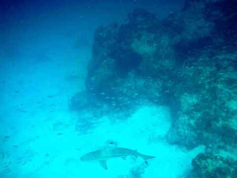 requin pointe noire