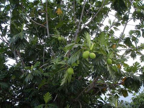 le URU fruit de l'arbre à pain ... délicious
