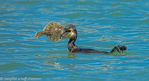 cormorano con passera o rombetto, laguna di grado