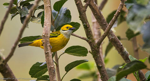 tanager silver throated,  san gerardo