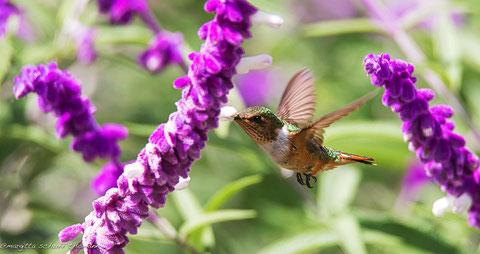 colibri a san gerardo