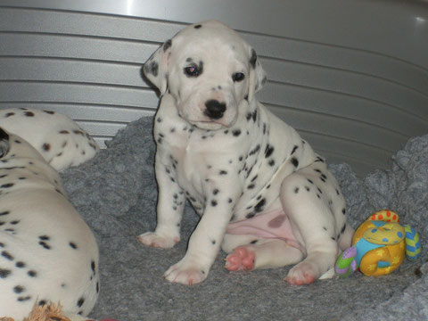 chiot 25 jours 2150g