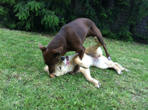 Lotta bei Freundin Kira im Garten 30 Grad und immer noch unermüdlich!