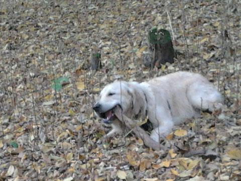 Balu im Wald, wo er hingebungsvoll an einem Stock beiß
