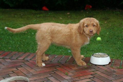 Kommentar Goldentolling: Einer der wenigen Hunde die vor einem vollen Fressnapf stehen und in die Kamera gucken!