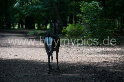 Sika Reh Tierfotografie vor der Bilderbearbeitung mit einem Bildbearbeitungsprogramm