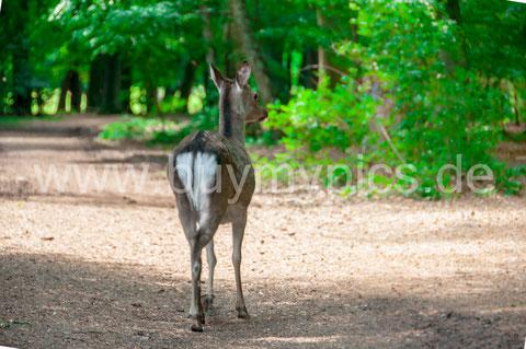 Sika Reh Huftier Wild - Tierfotografie nach einer Bearbeitung des Bildes RAW-Datei