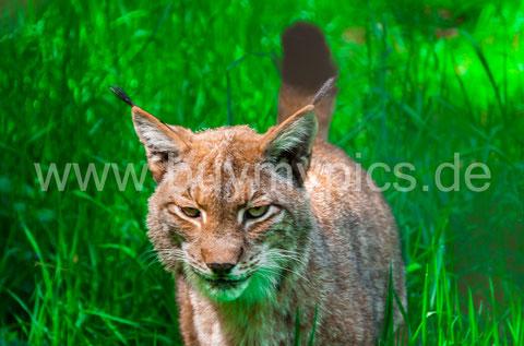 Tier-Fotografie Luchs Raubkatze - nach der Bildbearbeitung mit Lightroom