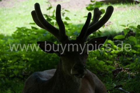 Rotwild, Rothirsch - Tierfotografie, Bild vor der Bearbeitung mit Fotoshop