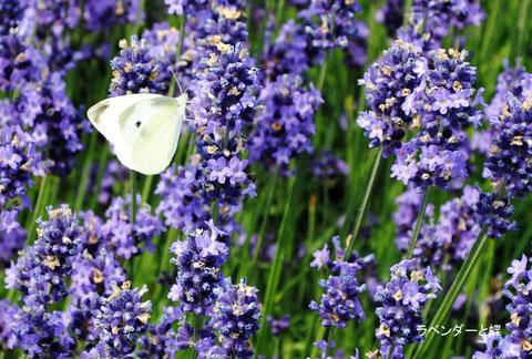 ラベンダーの花と蝶
