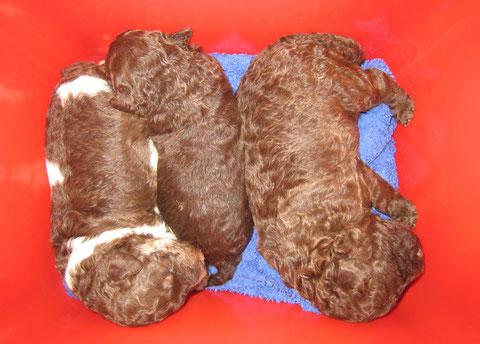 De puppen in een knalrood emmertje tijdens de verschoning van het vetbed in de werpkist