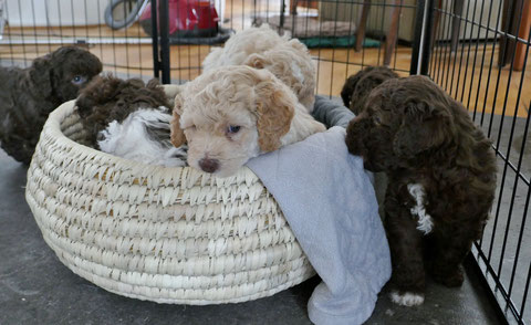 Spelende pups