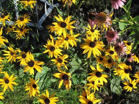 Warm leuchtende gelbe Sonnenhüte