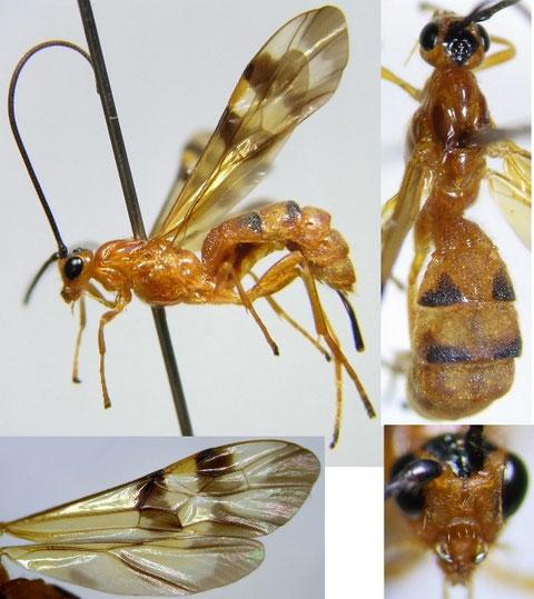 Pseudoshirakia yokohamensis (Cameron, 1910) ヨコハママダラコマユバチ