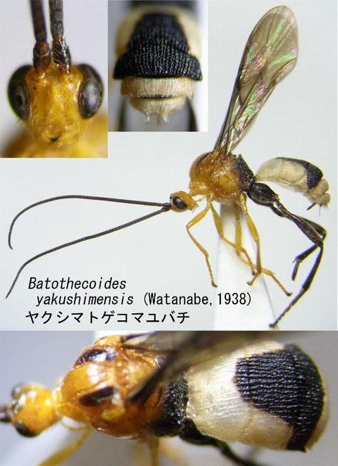 Batothecoides yakushimensis (Watanabe, 1938) ヤクシマトゲコマユバチ